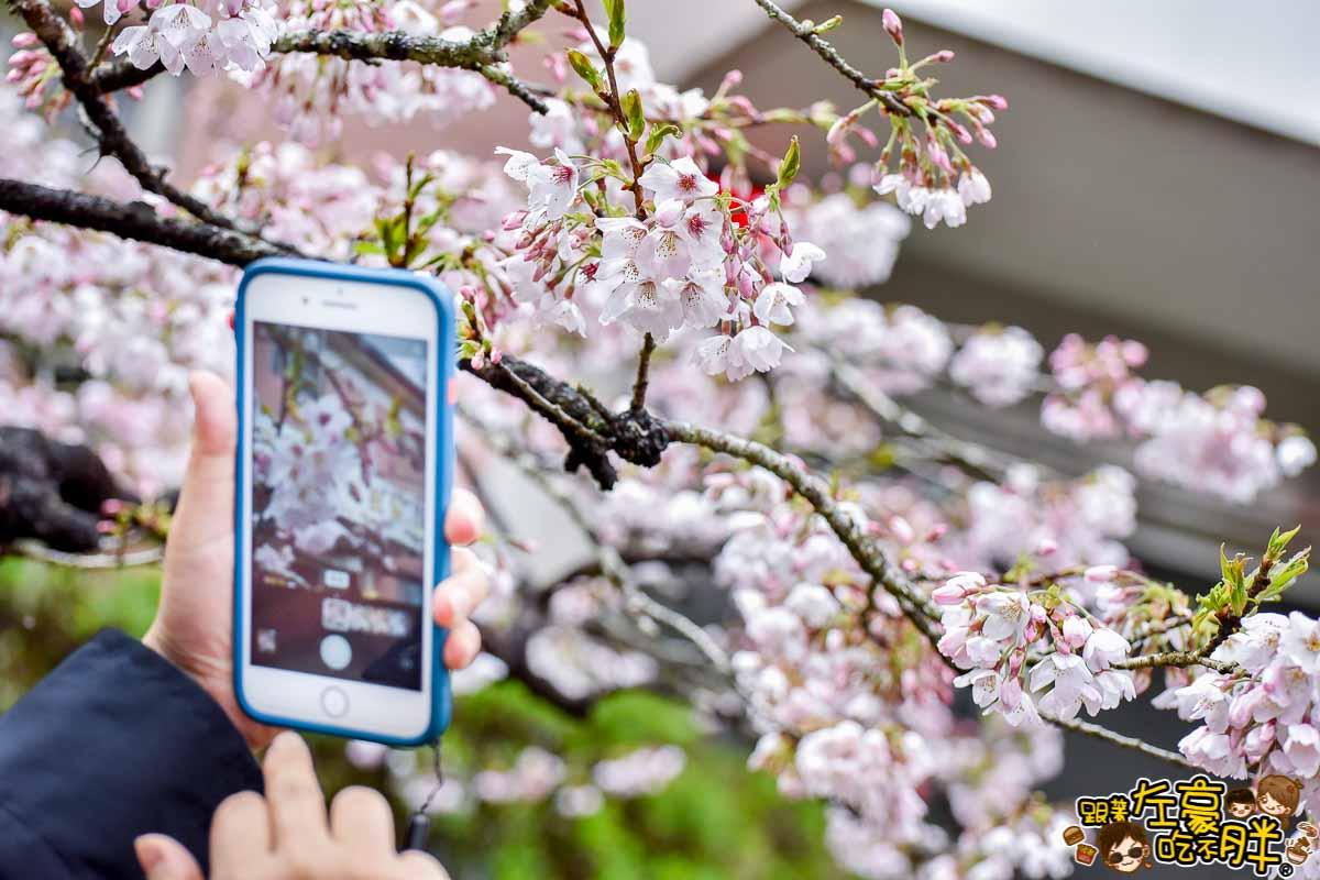 阿里山櫻花季 最新花況-17