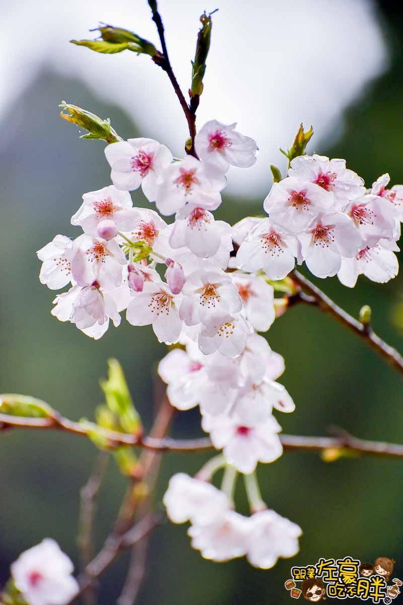 阿里山櫻花季 最新花況-13