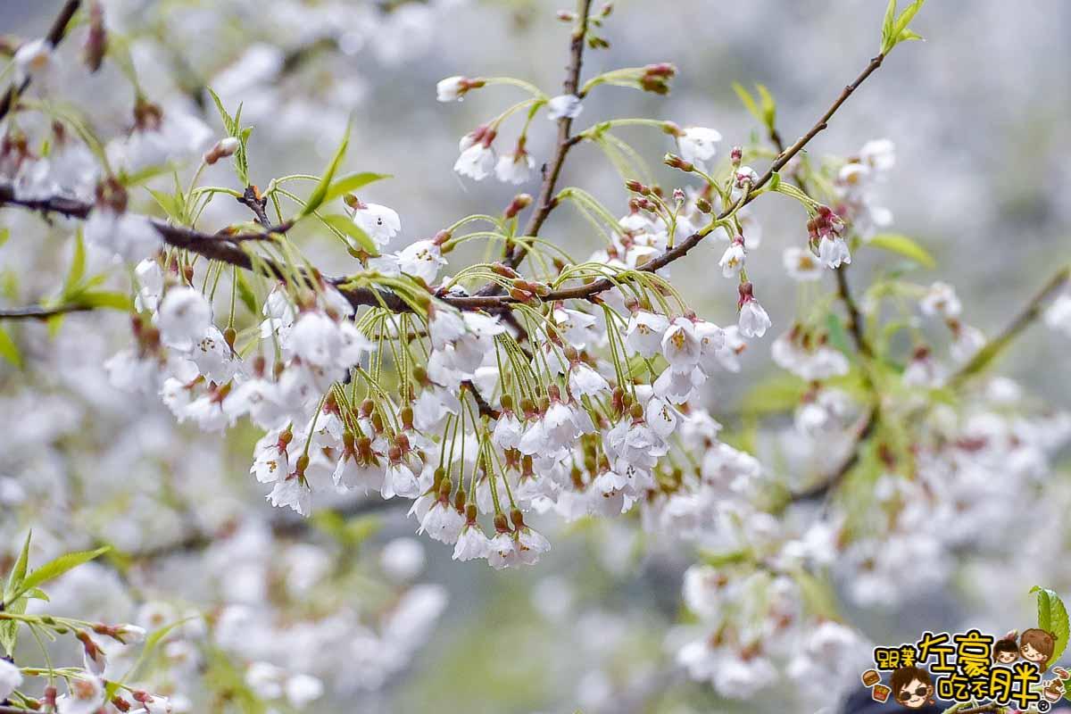 阿里山櫻花季 最新花況-4