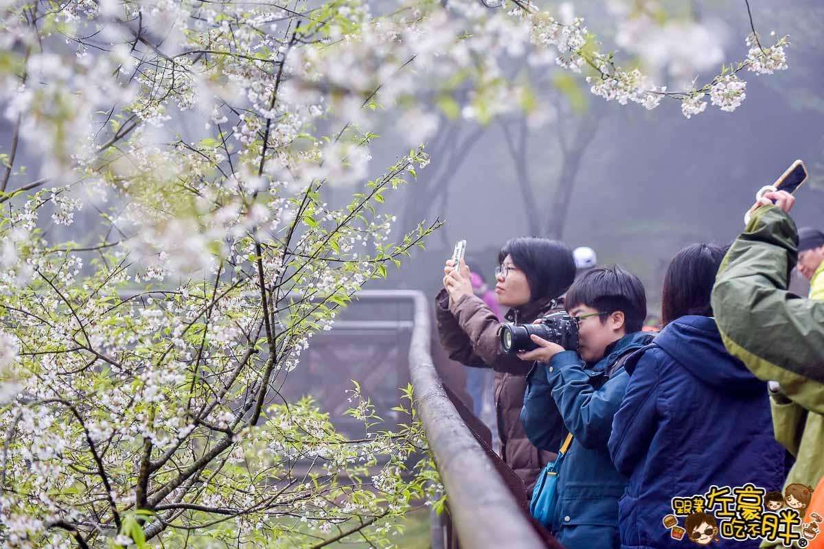 阿里山櫻花季 最新花況-3