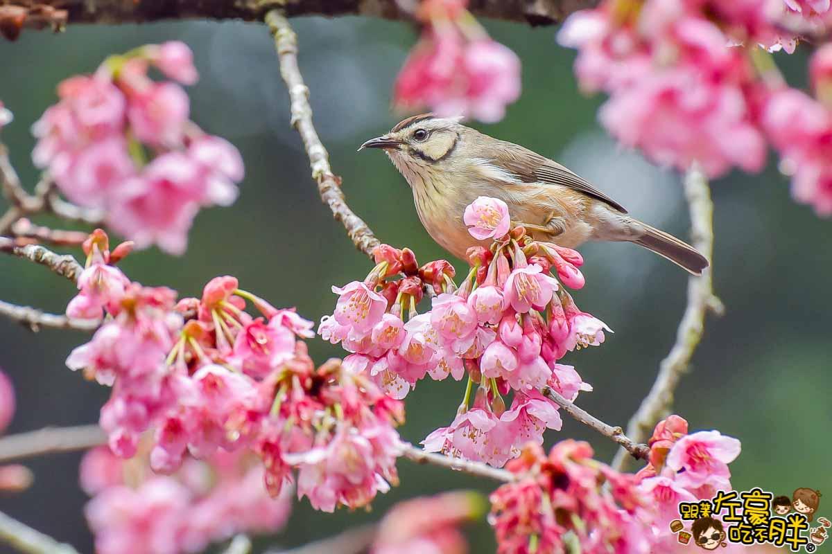 阿里山櫻花小鳥-1