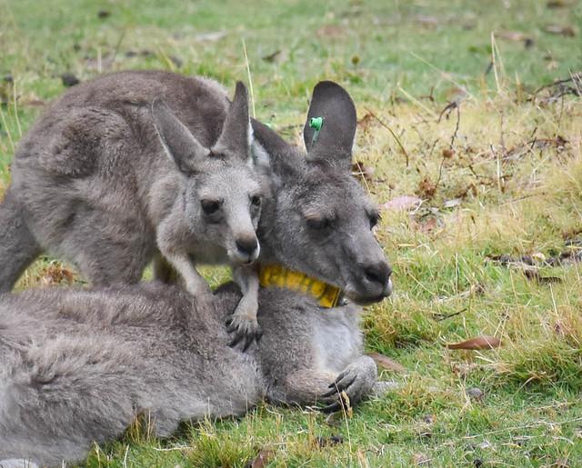 Marsupial Massage
