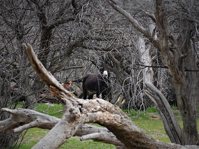 Burro in the Trees SR602326