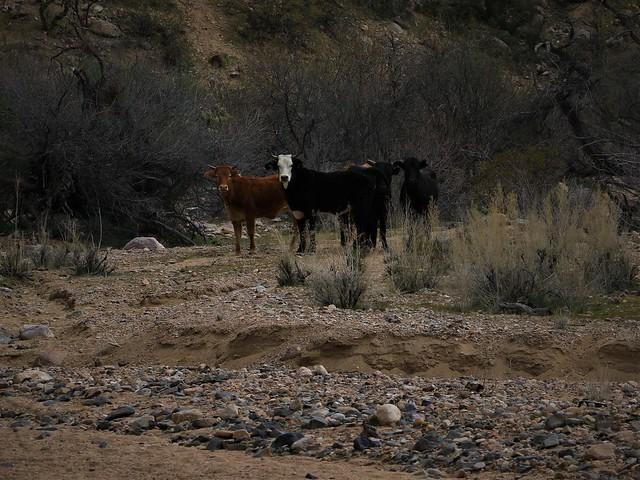 Cows 7D2_5816