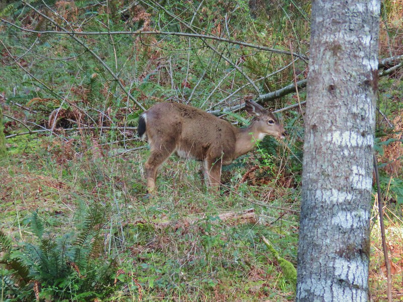 Deer at Miller Woods