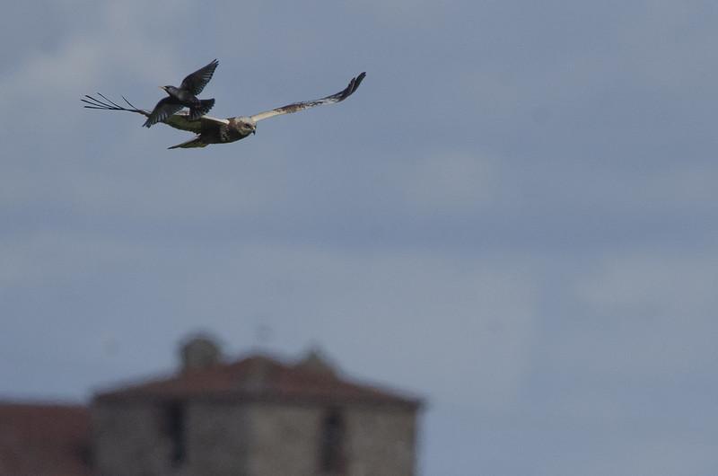 Star mit Rohrweihe / Extremadura