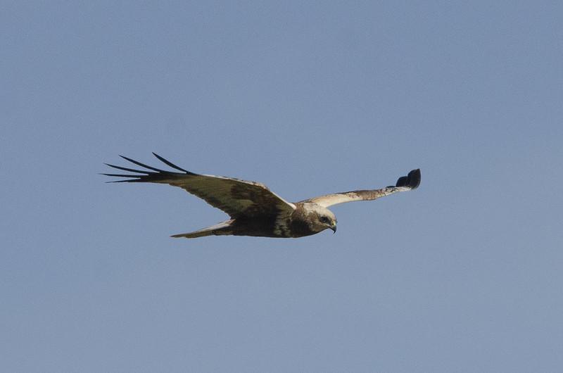 Rohrweihe / Extremadura