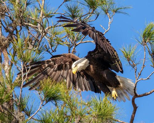 outdoor dennis adair nature wildlife 7dm2 7d ii ef100400mm canon florida bird prey