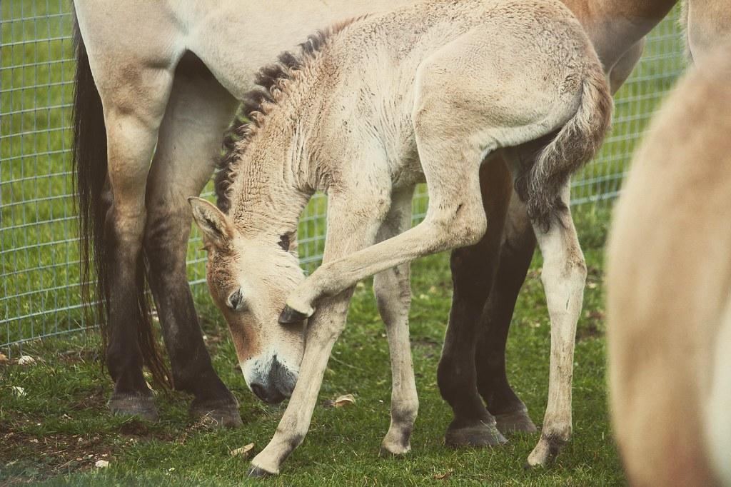 Przewalski Foal