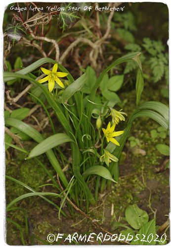 Gagea lutea 'Yellow Star Of Bethlehem' | by nigelalandodds