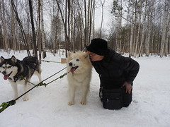 Siberian Husky5