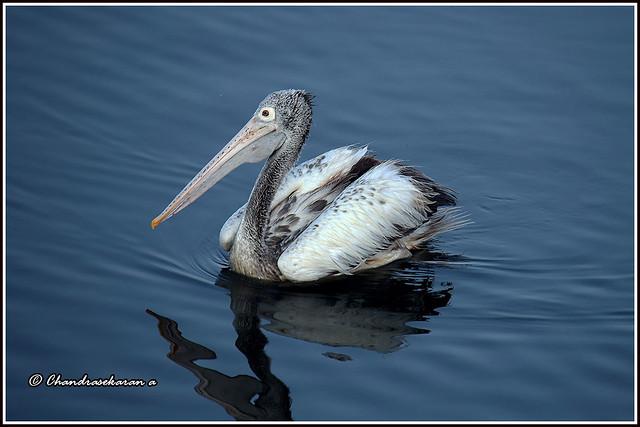 9725 - spotbilled pelican - explored