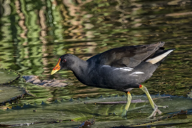 Common Moorhen ©