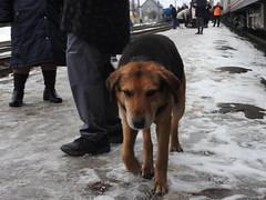 Dog at Siberian Station1
