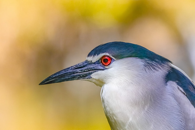 black capped heron