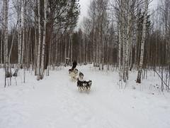 Dog sledding near Yekaterinburg Siberia1