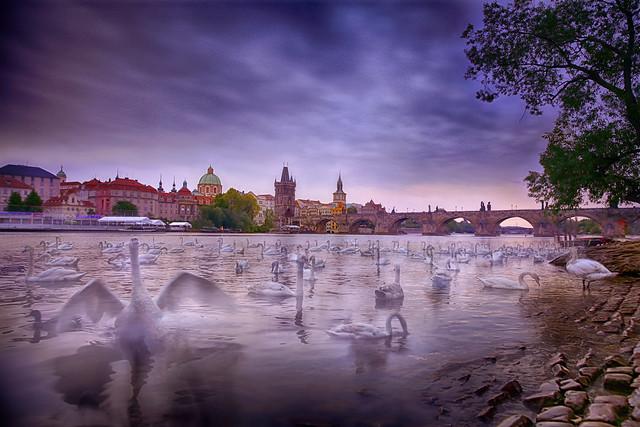The Magic Swans of the Vltava River