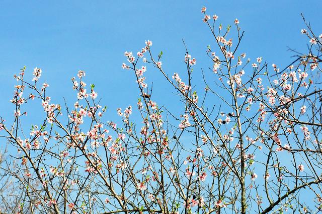 März 2020 ... Nur noch wenige rosafarbene Mandelblüten, Seckenheim ... Brigitte Stolle
