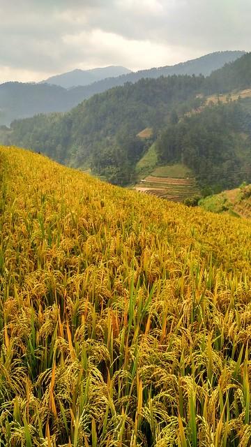 Golden rice terraces during harvest season