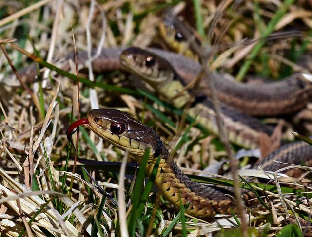 811_5456.jpg=  Garter Snake