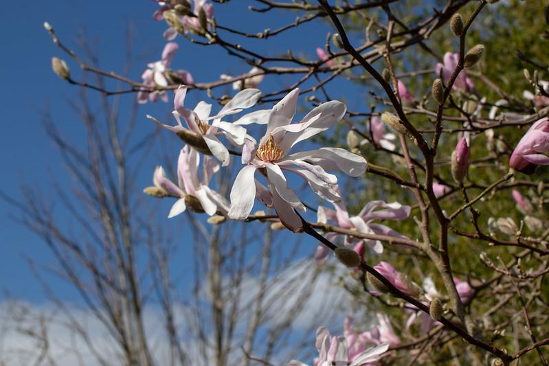 Magnolia time, Holme Gardens 3