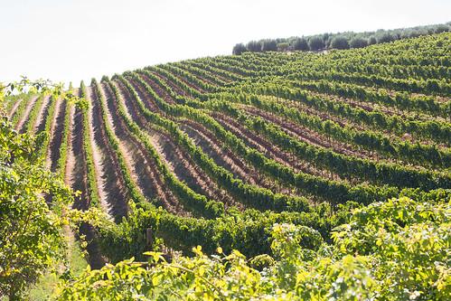 Tokara vineyards