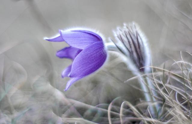 Leánykökörcsin (Pulsatilla grandis)