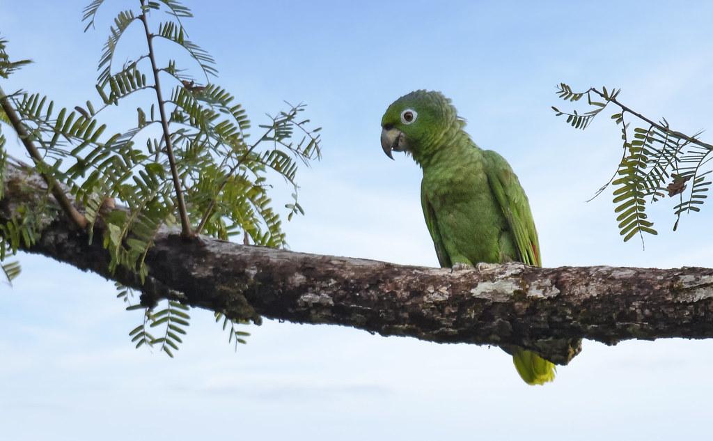 Amazona farinosa - Mealy Parrot - Amazona Harinosa - Lora Real 02