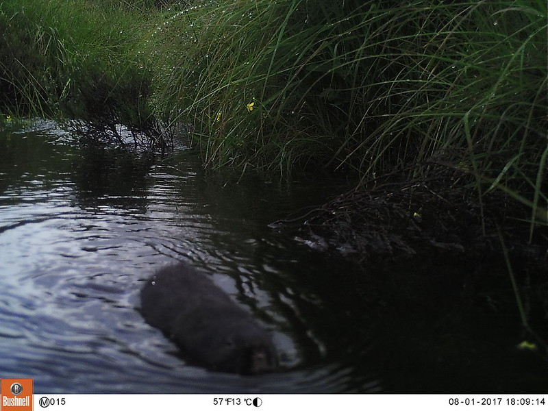 jdrake_watervole_cameratrap2