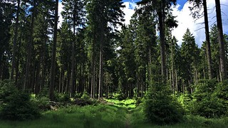 Beautyful spruce forest