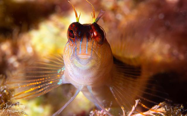 Blénido (es). Blenny (en). [Blenniidae]. Cala D'or. Balearic Islands. Spain