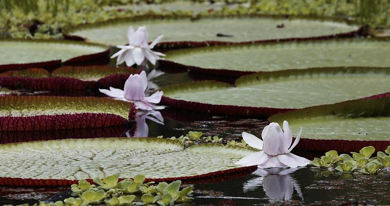 Amazon Water Lily_Victoria amazonica_Ascanio_Amazon Cruise_ DZ3A8234