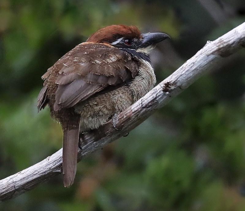 Chestnut-capped Puffbird_Bucco macrodactylus_Ascanio_Amazon Cruise_DZ3A7820