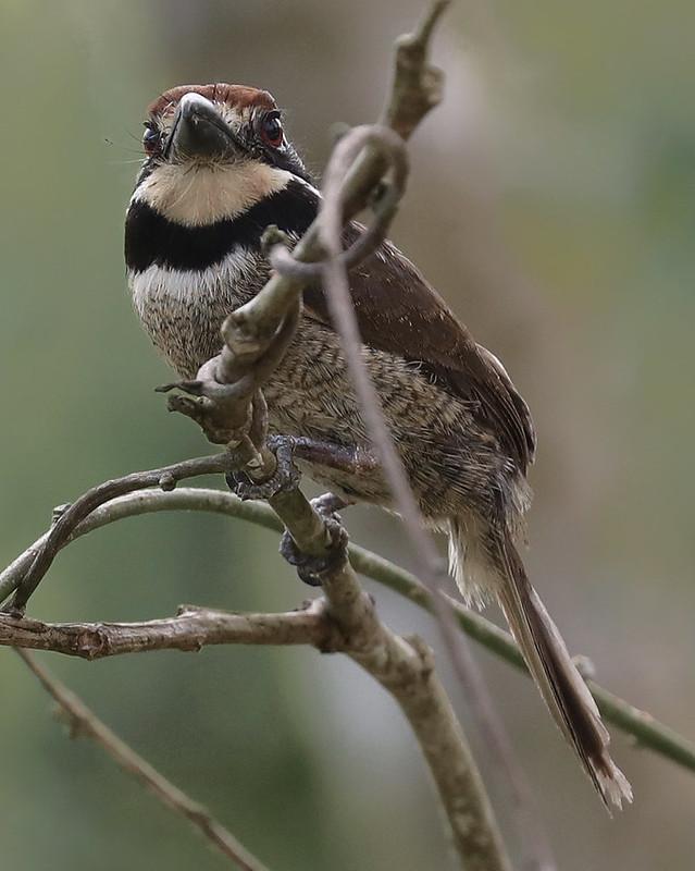 Chestnut-capped Puffbird_Bucco macrodactylus_Ascanio_Amazon Cruise_DZ3A7773