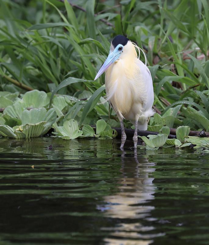 Capped Heron_Pilherodius pileatus_Amazon_Ascanio_DZ3A8700