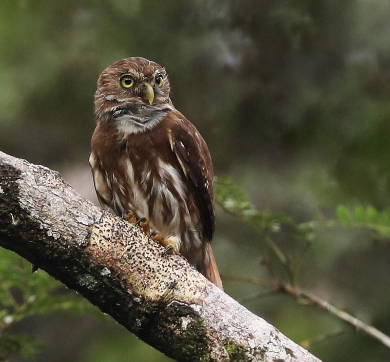Ferruginous Pygmy-Owl_Glaucidium brasilianum_Ascanio_Amazon Cruise_DZ3A8455