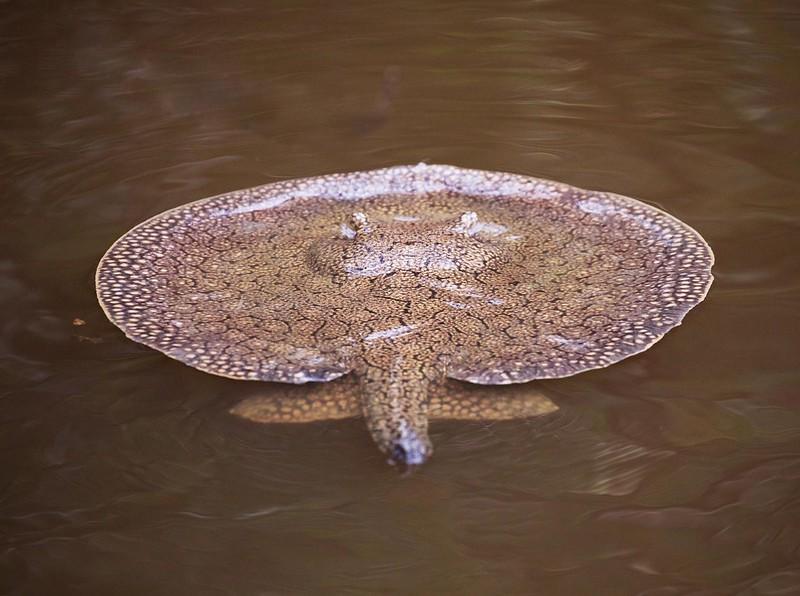 Freshwater stingray_Potamotrygonidae_Ascanio_Amazon Cruise_DZ3A7262