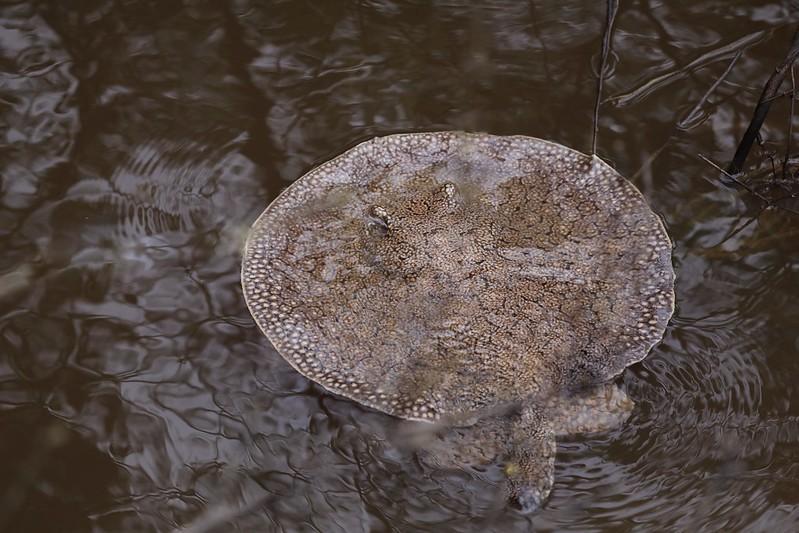 Freshwater stingray_Potamotrygonidae_Ascanio_Amazon Cruise_DZ3A7272
