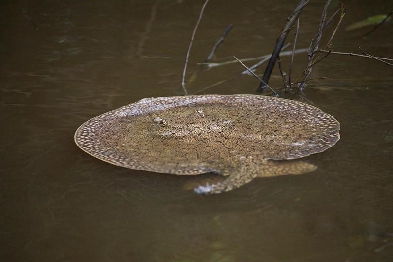 Freshwater stingray_Potamotrygonidae_Ascanio_Amazon Cruise_DZ3A7266