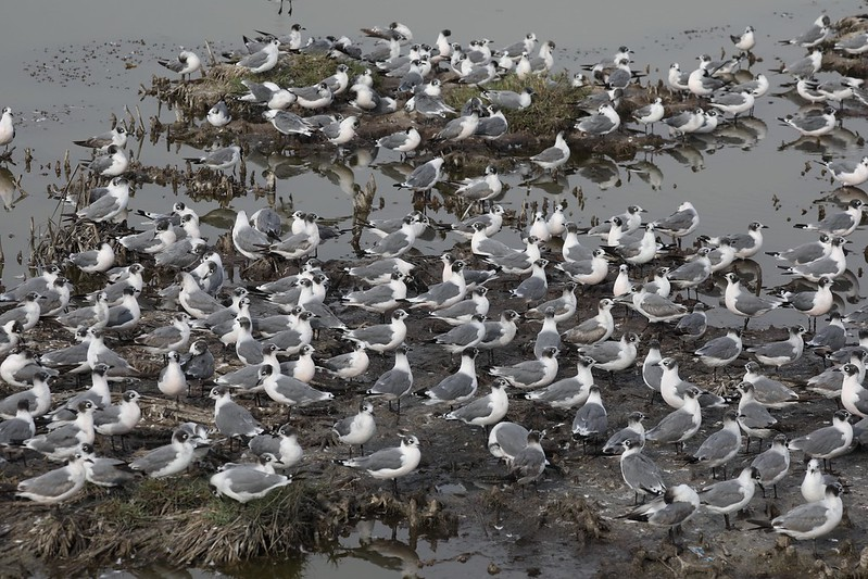 Franklin's Gull_Leucophaeus pipixcan_Ascanio_Lima Day_DZ3A7128