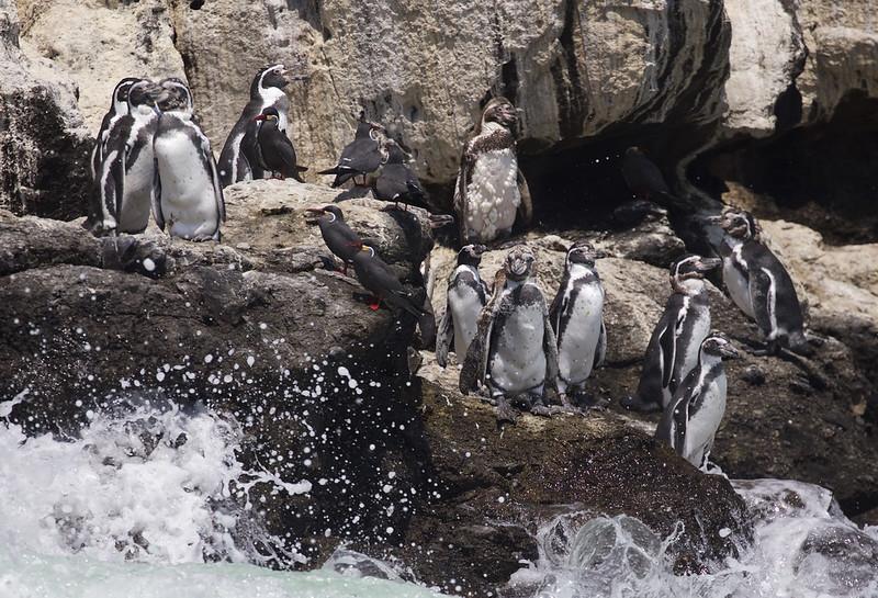 Humboldt Penguin_Spheniscus humboldti_Ascanio_Lima Day_DZ3A6875
