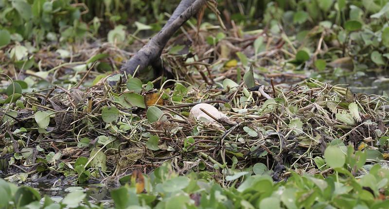 Horned Screamer nest_Anhima cornuta_Ascanio_Amazon Cruise_DZ3A8081