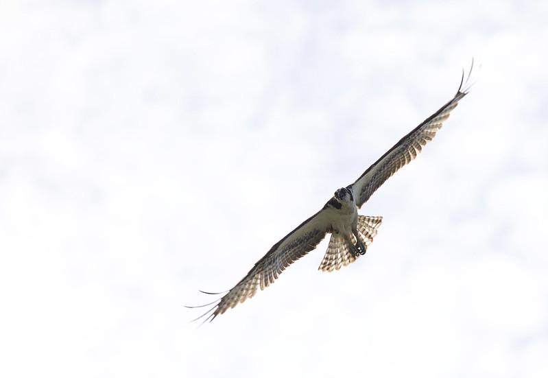 Osprey_Pandion haliaetus_Ascanio_Lima_DZ3A7211
