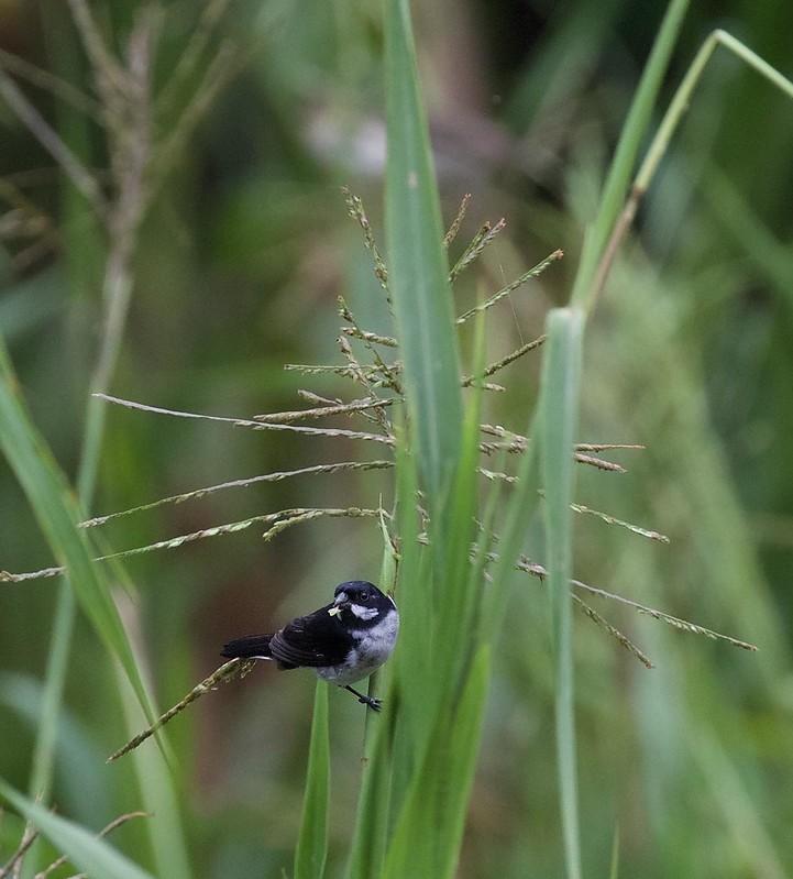 Lesson's Seedeater_Sporophila bouvronides_Ascanio_Amazon Cruise_DZ3A7289