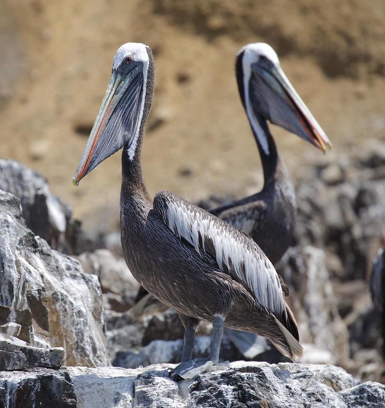 Peruvian Pelican_Pelecanus thagus_Ascanio_Lima Day_DZ3A6837