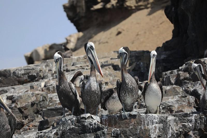 Peruvian Pelican_Pelecanus thagus_Ascanio_Lima Day_DZ3A6952