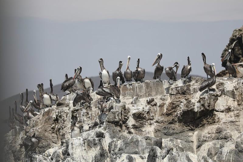 Peruvian Pelican_Pelecanus thagus_Ascanio_Lima Day_DZ3A6915