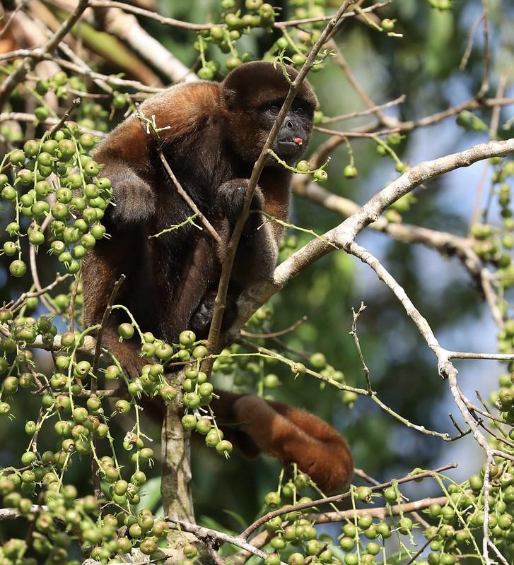 Woolly monkey_Lagothrix sp._Amazon Cruise_Ascanio_DZ3A7645