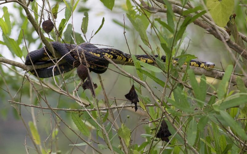 Tiger Snake_Spilotes pullatus_Ascanio_Amazon Cruise_DZ3A8866