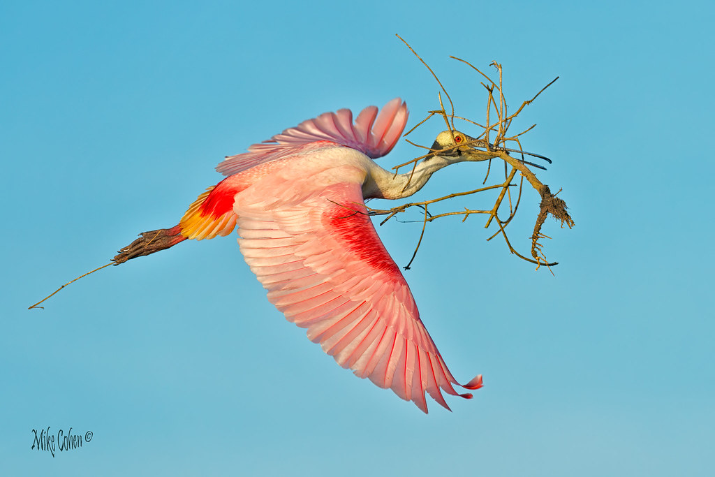 Roseate Spoonbill with Nesting Material